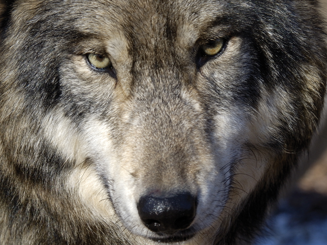 The reintroduction of gray wolves into yellowstone