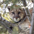 It's the widest-ranging native land animal in the Americas, yet is declining throughout much of its range. Wilderutopia carries an interview with big cat expert Dr. Howard Quigley about the status and research implications of the elusive, enigmatic, and unique cougar.