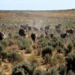 Cattle Grazing the Desert Will Not Solve Climate Change