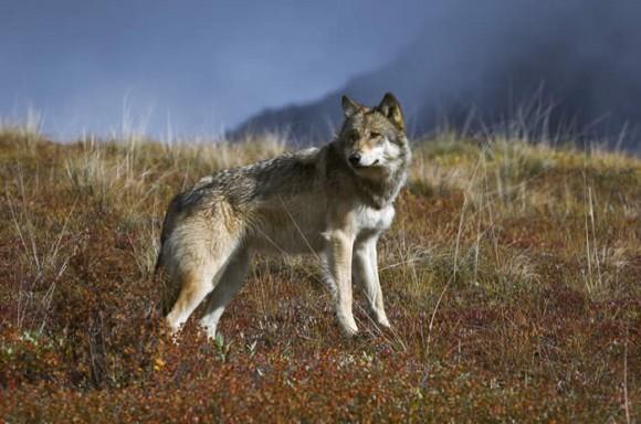wolf wars, endangered species act