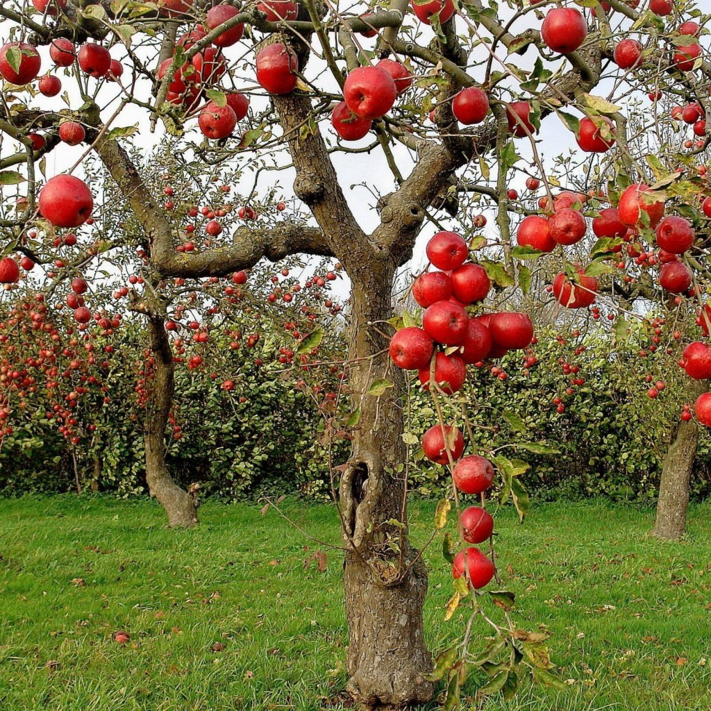 Apple tree quotes quotesgram - Planting fruit trees in autumn ...
