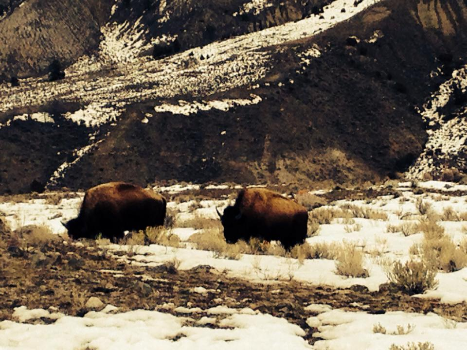 buffalo wild in Yellowstone National Park